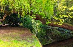 Chorando a caminhada de Willow Leaning Over New River, Londres Foto de Stock