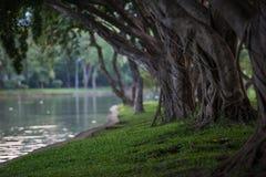 Chorando o figo pela lagoa Fotografia de Stock Royalty Free