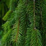 Chorando o pinheiro Foto de Stock
