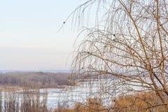 Chorando o salgueiro em um fundo de um inverno ajardine Foto de Stock