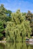 Chorando o salgueiro no parque de Röhrensee em Bayreuth foto de stock royalty free