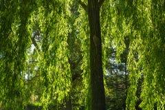 Chorando Willow Branches no outono imagem de stock