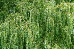 Chorando Willow Tree Fotografia de Stock Royalty Free