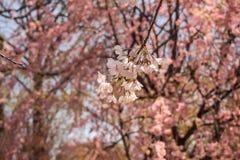 Chorar o blossomsShidarezakura da cereja no castelo de Morioka arruina o parque do parkIwate, Iwate, Tohoku, Japão Foco seletivo Foto de Stock