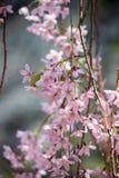 Chorar o blossomsShidarezakura da cereja no castelo de Morioka arruina o parque do parkIwate, Iwate, Tohoku, Japão Foco seletivo Imagens de Stock Royalty Free