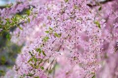 Chorar o blossomsShidarezakura da cereja no castelo de Morioka arruina o parque do parkIwate, Iwate, Tohoku, Japão Foco seletivo Imagem de Stock