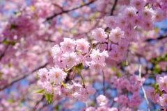 Chorar o blossomsShidarezakura da cereja no castelo de Morioka arruina o parque do parkIwate, Iwate, Tohoku, Japão Foco seletivo Imagem de Stock Royalty Free