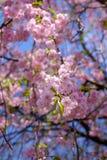 Chorar o blossomsShidarezakura da cereja no castelo de Morioka arruina o parque do parkIwate, Iwate, Tohoku, Japão Foco seletivo Fotografia de Stock Royalty Free
