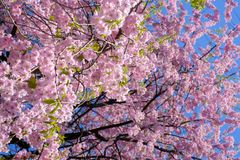 Chorar o blossomsShidarezakura da cereja no castelo de Morioka arruina o parque do parkIwate, Iwate, Tohoku, Japão Foco seletivo Fotos de Stock Royalty Free