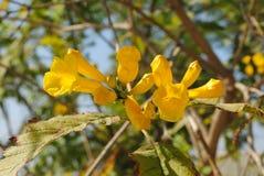 Chori gori Ticoma нося желтый цветок, дерево дороги бортовое стоковая фотография rf