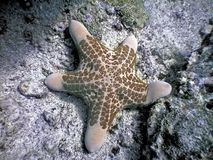 Choriaster granulatus starfish. Granulated starfish - quite large sea star also called Kenya Star or Dough-boy Star, in excess of a foot in diameter royalty free stock photography