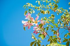 Chorisia Royalty Free Stock Photo