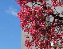Chorisia Speciosa of de Boom van de Zijdezijde in Tavira Portugal Royalty-vrije Stock Afbeeldingen