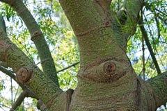 Chorisia speciosa, floss-silke träd fotografering för bildbyråer