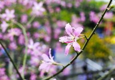 Chorisia speciosa flower in winter Royalty Free Stock Photo