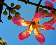 Chorisia speciosa, lower and fruits. Chorisia speciosa. Flower in the form of a five-pointed star and fruits on a tree branch. Against the blue sky. A picture Stock Photo