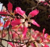 Chorisia Speciosa ou árvore de seda de Floss em Tavira Portugal fotografia de stock