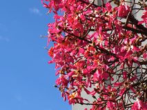 Chorisia Speciosa Or Silk Floss Tree In Tavira Portugal Stock Image