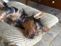 Chorkie somnolent photo libre de droits