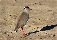 Chorlito coronado (coronatus del Vanellus) fotografía de archivo