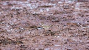 Chorlito de la ave costera de Smal pequeño o retrato anillado del primer del dubius del charadrius en la línea de la playa del ma imagenes de archivo