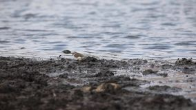 chorlito Tres-congregado cerca del agua