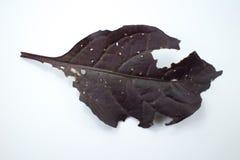 Choroba Czerwony liść Czerwony bluszcz, Czerwony płomienia bluszcz lub Hemigraphis alte Zdjęcie Stock