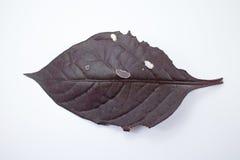 Choroba Czerwony liść Czerwony bluszcz, Czerwony płomienia bluszcz lub Hemigraphis alte Zdjęcia Stock