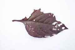 Choroba Czerwony liść Czerwony bluszcz, Czerwony płomienia bluszcz lub Hemigraphis alte Obraz Stock