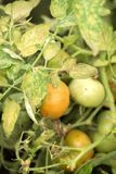 Choroba liście dojrzenie zieleni pomidory w ogródzie ja Obrazy Stock