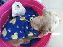Choroba pies kłaść puszek w różowej plastikowej balii zdjęcie stock