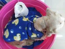 Choroba pies kłaść puszek w różowej plastikowej balii obraz stock