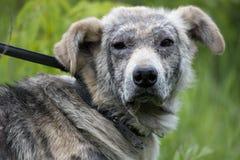 Choroby psi demodex zdjęcia stock