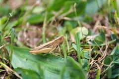 Chorthippus albomarginatus,从边,宏观照片的蚂蚱 库存图片