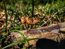 Chorthippus brunneus 库存图片