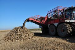 Unloading the roots of sugar beet from the hopper of the combine. Chortkiv - Ternopil - Ukraine - October 18, 2017. In the Agrofirma `Nichlava` from the hopper stock image