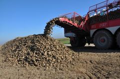 Unloading the roots of sugar beet from the hopper of the combine. Chortkiv - Ternopil - Ukraine - October 18, 2017. In the Agrofirma `Nichlava` from the hopper royalty free stock photos