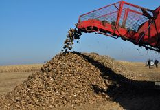Unloading the roots of sugar beet from the hopper of the combine. Chortkiv - Ternopil - Ukraine - October 18, 2017. In the Agrofirma `Nichlava` from the hopper royalty free stock images