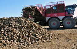 Unloading the roots of sugar beet from the hopper of the combine. Chortkiv - Ternopil - Ukraine - October 18, 2017. In the Agrofirma `Nichlava` from the hopper stock photos