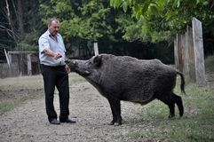 The forestman will fed up wild boar. Chortkiv - Ternopil - Ukraine - September 12, 2017. The main forester Bilivskogo forestry in the forest apples feeds wild Royalty Free Stock Photos