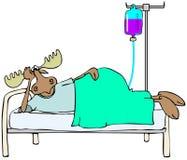 Chory łoś amerykański w łóżku royalty ilustracja