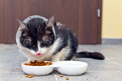 Chory kot je zwierzęcia domowego jedzenie Fotografia Stock