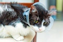 Chory kot jest ubranym leja Fotografia Royalty Free