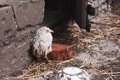 Chory kurczak Obrazy Stock