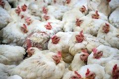 Chory kurczak lub Smutny kurczak w gospodarstwie rolnym, epidemia, ptasia grypa zdjęcia royalty free