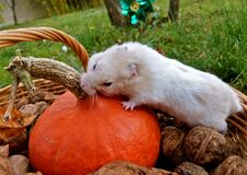 He chose to try the pumpkin Stock Photography