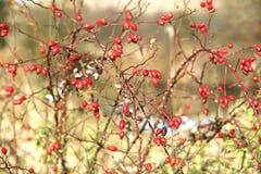 Choses étonnantes autour de nous en nature - hanche rose Images stock