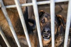 Choszczno, Polen, 12 november 2017: Hond achter de tralies in schuilplaats Royalty-vrije Stock Foto's