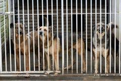 Choszczno, Polen, 12 november 2017: Honden achter de tralies in schuilplaats Stock Afbeeldingen