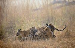 Choti tara tigrinna med två lilla manliga gröngölingar på Tadoba Andhari Tiger Reserve, Chandrapur, Maharashtra, Indien royaltyfri fotografi